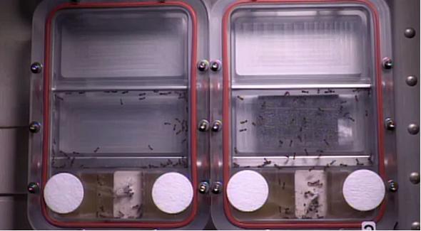 国際宇宙ステーションへ送られたアリの行動は、ロボット開発のヒントに(NASA提供)